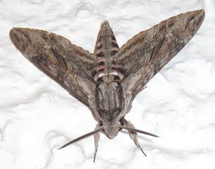 306px-Giant_grey_moth